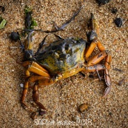 Beached Crab